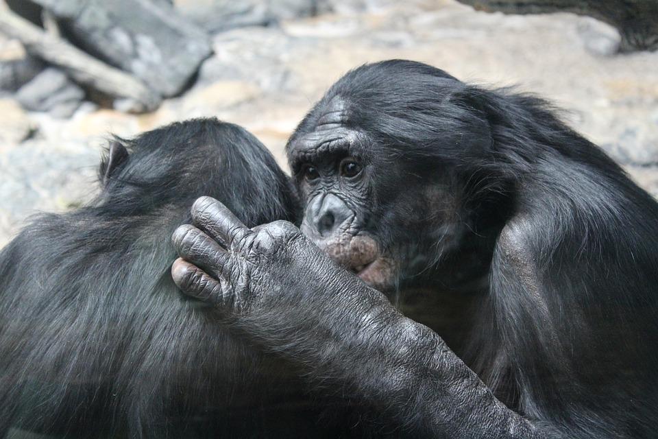 Bonobo, Primates, Apes, Animals