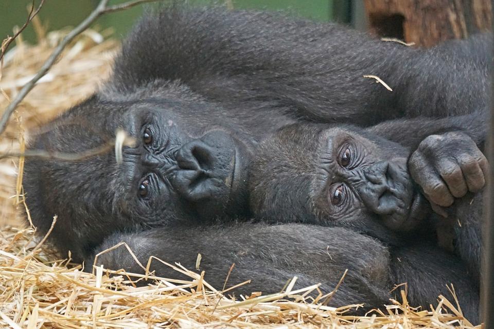 Animals, Primates, Apes, Gorilla, Close