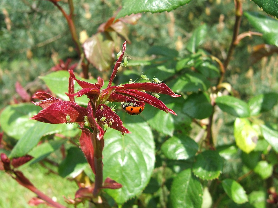 Aphid, Aphids, Ladybug, Meals