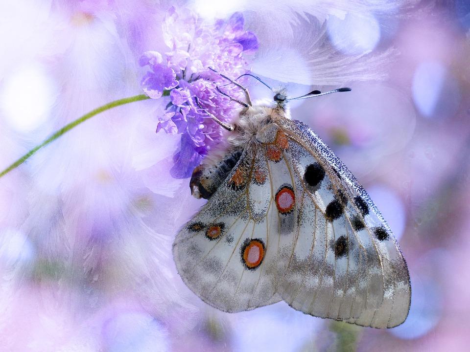 Butterfly, Apollo, Apollofalter