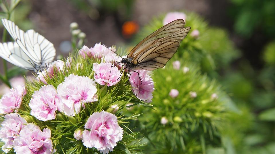 Dianthus, Butterfly, Aporia Crataegi, Flower, Pink