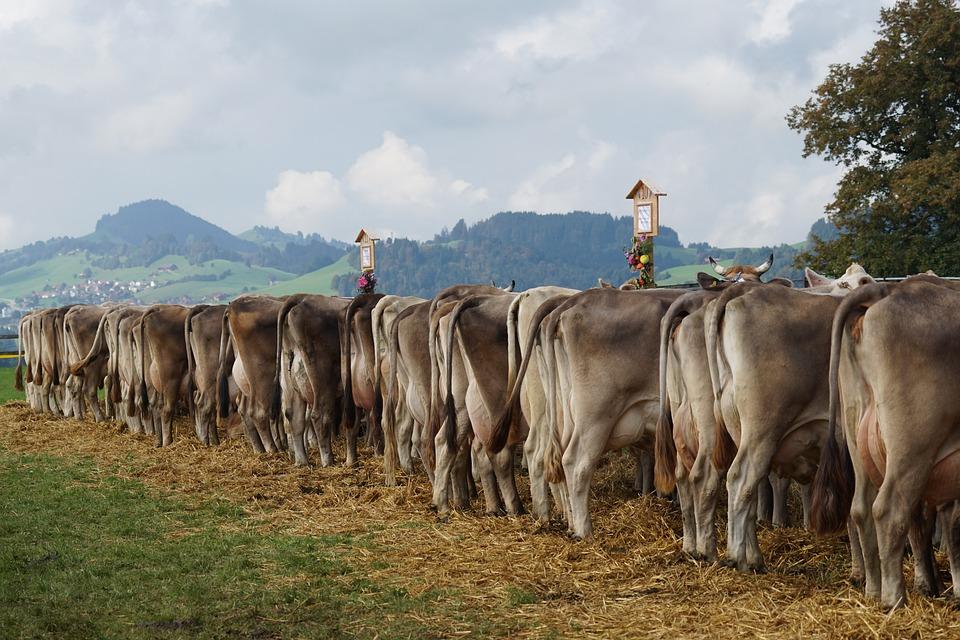 Cattle Show, Customs, Appenzellerland, Appenzell, Stone