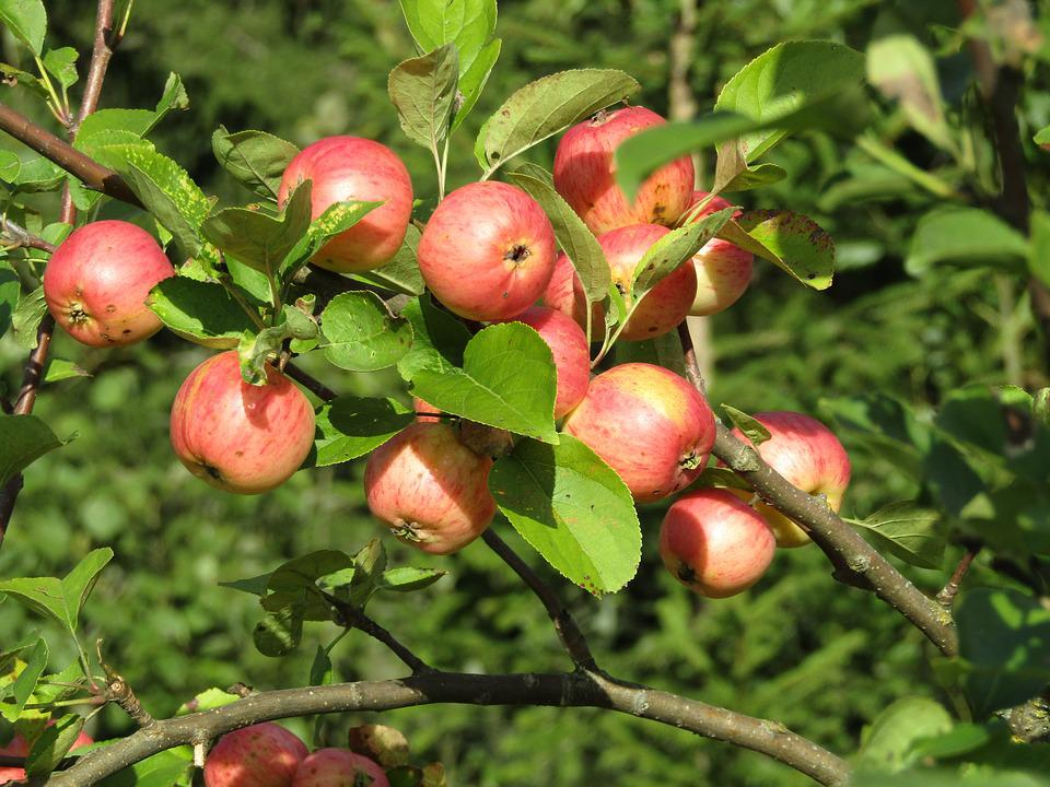 Apple Orchard, Apple, Fruit, Apples