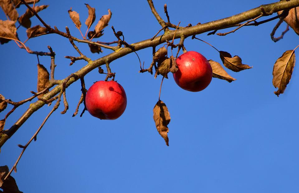 Apple, Apple Tree, Fruit, Tree, Nature, Red, Autumn