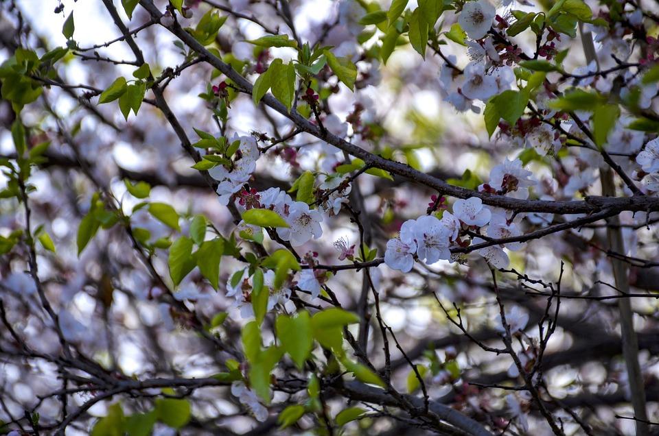 White Flowers, Apple, Bloom, Blossom, White, Spring