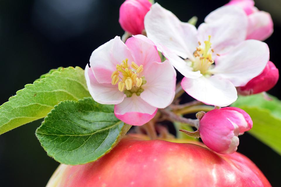 Apple, Apple Blossoms, Spring, Blossom, Bloom