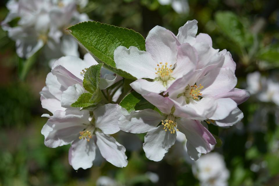 Apple Tree, Apple Blossom, Blossom, Bloom