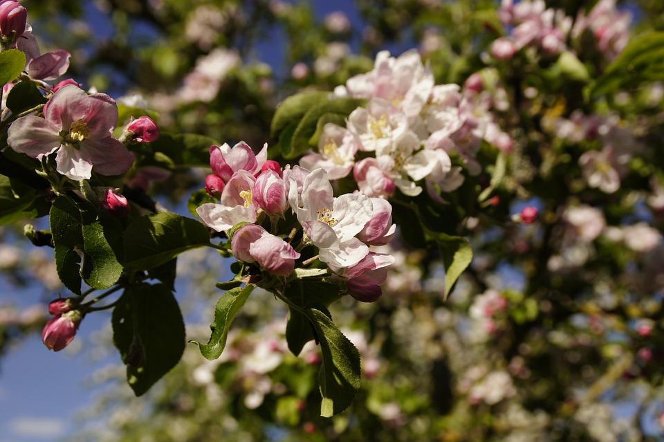 Apple Blossom, Blossom, Bloom, Apple Tree, May