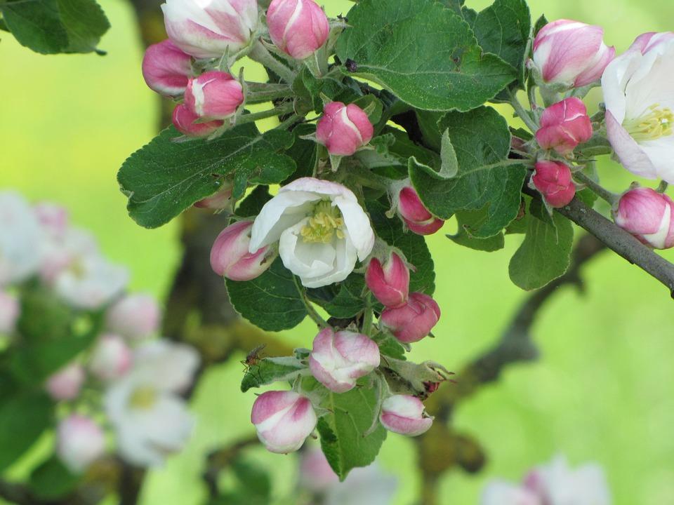 Apple Blossom, Spring, Nature, Bloom