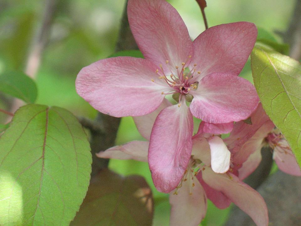 Flower, Apple Blossom, Spring