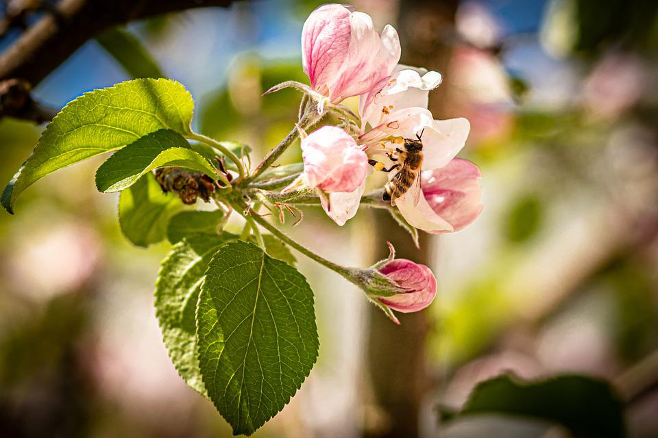 Apple Blossom, Flowers, Bee, Insect, Honey Bee