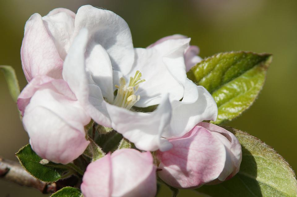 Apple Blossom, Spring, Nature