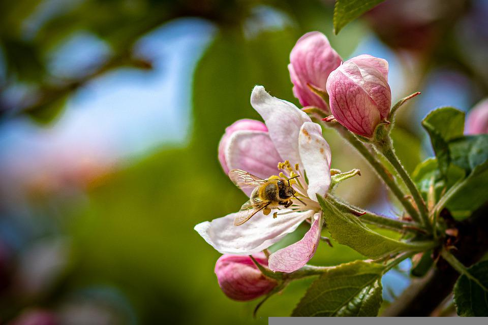 Apple Blossom, Pollinate, Pollination, Blossom, Bloom