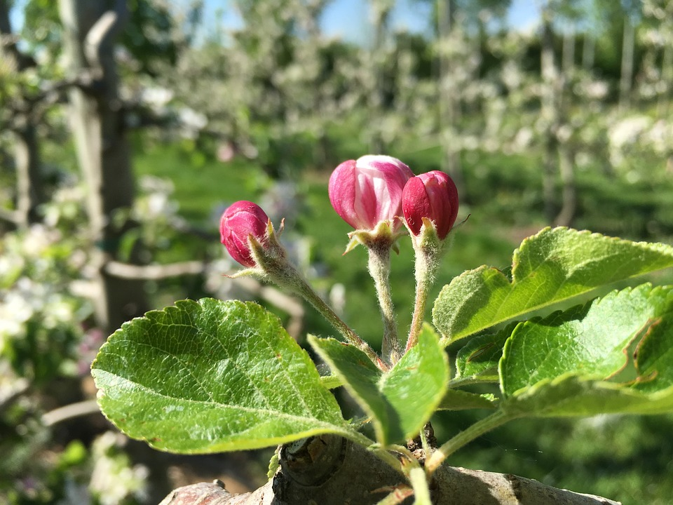 Apple Blossom, Red, Apple Tree, Branch, Pink, Bloom