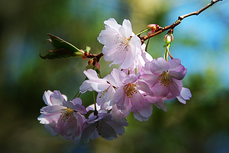 Spring Flower, Tree, Nature, Pink, Apple Blossom