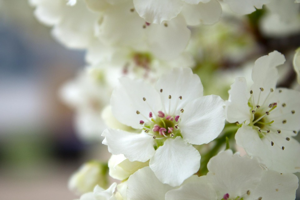 Apple Blossom, White, Flower, Small, Blossom, Blooming