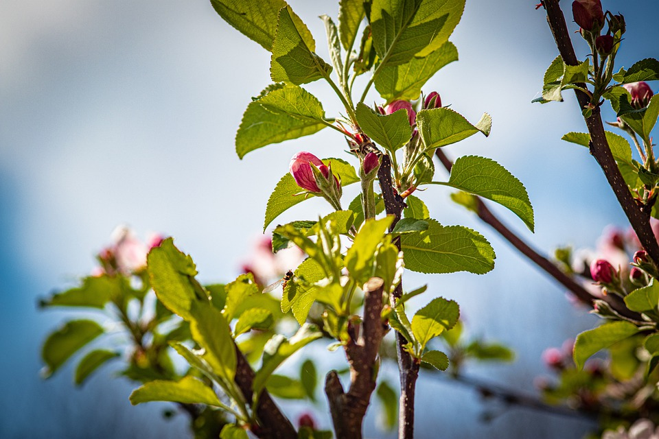 Apple Blossoms, Buds, Blossoming, Blooming, Apple Tree