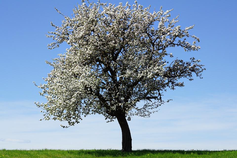 Apple Tree, Flowers, Apple Blossoms, Tree, Landscape