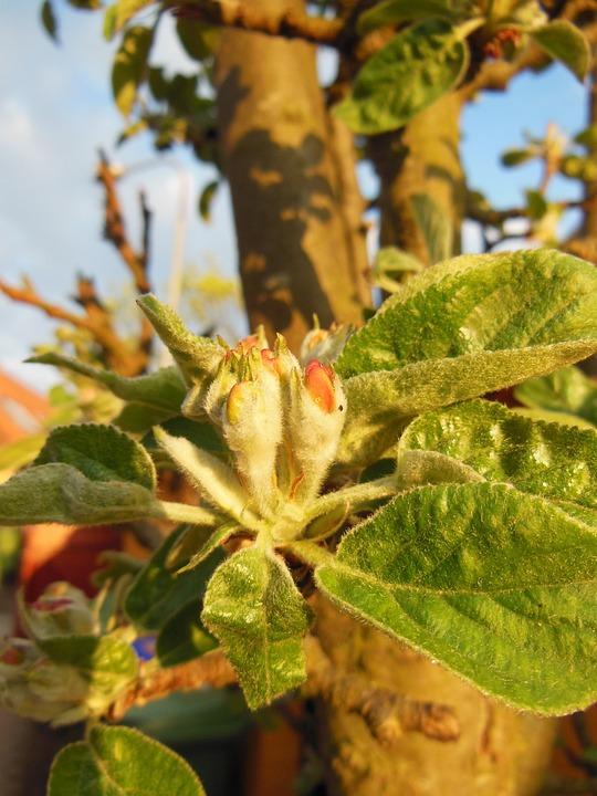Budding, Apple Buds, Hairy Leaves, Close-up, Macro
