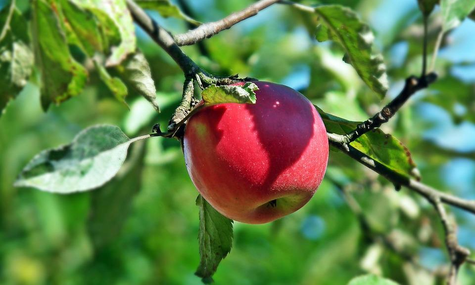 Fruit, Apple, Red, Nature, Leaf, Tree, Eating, Closeup