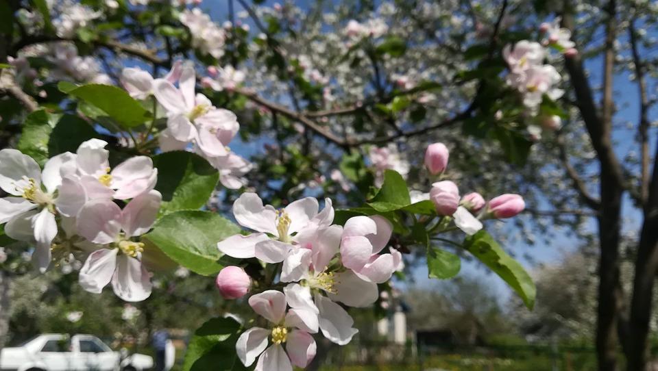Apple Tree, Flowers, Apple Blossoms, Apple Flower