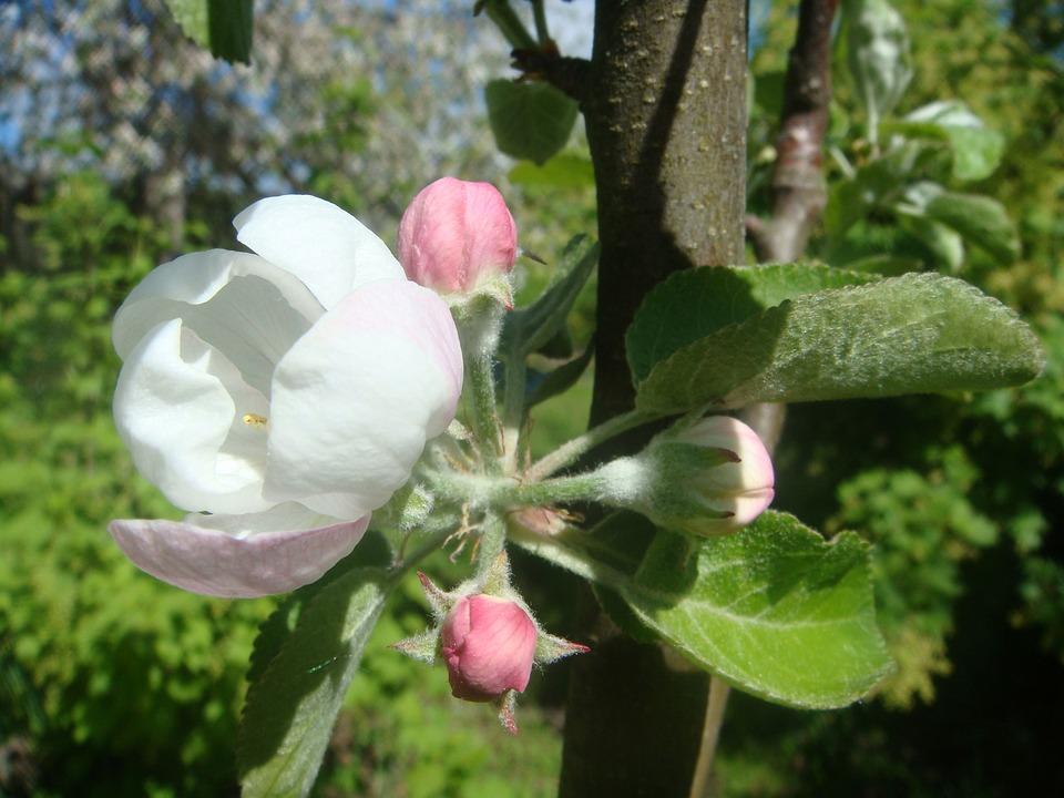 Apple, Bloom, Apple Blossoms, Spring, Apple Flower