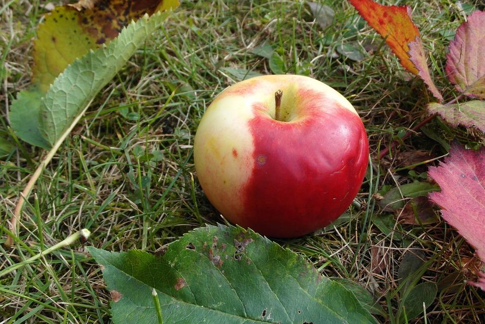 Apple, Mature, Fruit, Garden, Bleeding, Foliage
