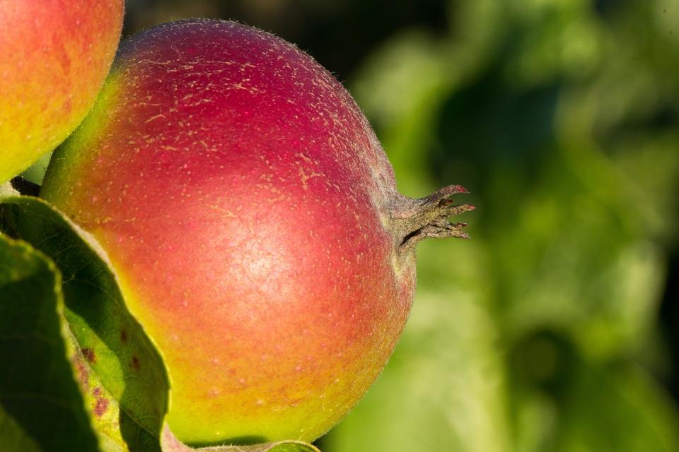 Apple, Close Up, Fruit, Fruits