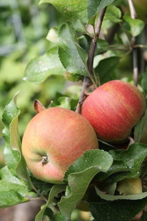 Apple Tree, Apple, Red, Green, Summer, Garden