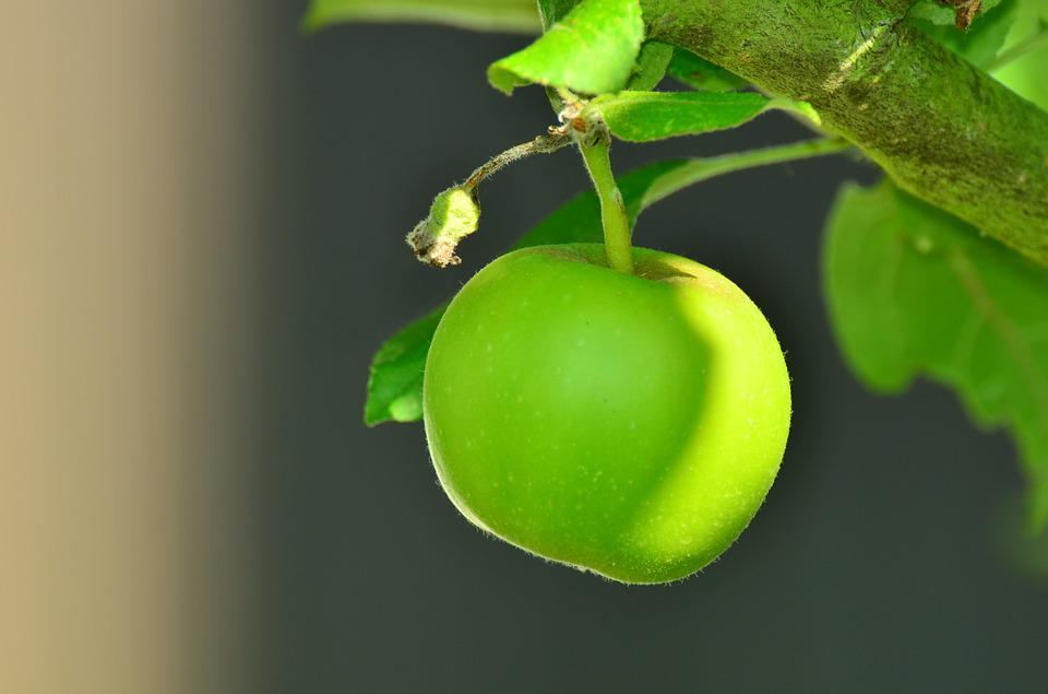 Apple, Green Apple, Tree, Apple Tree, Kernobstgewaechs