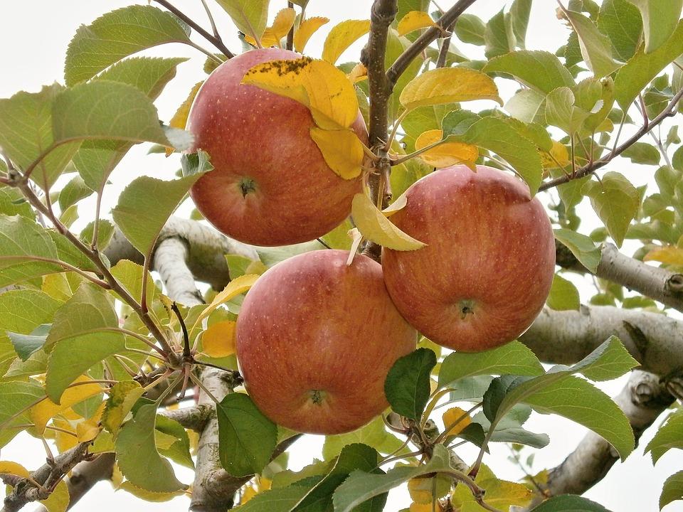 Apple, Ringo, The Apple Tree, Orchard