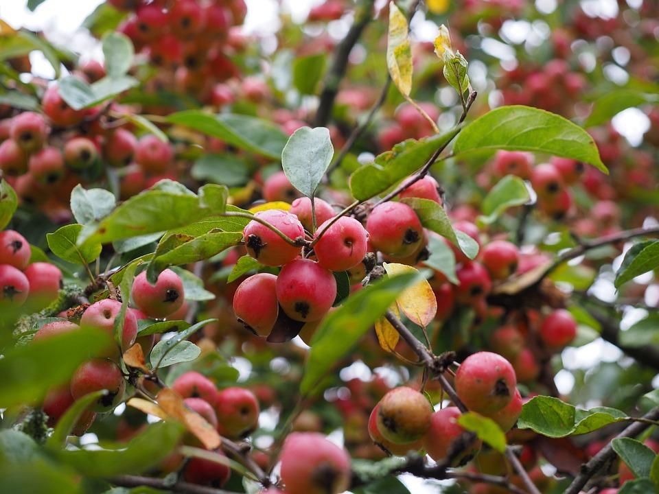 Embellishment, Apple, Small, Ornamental Tree