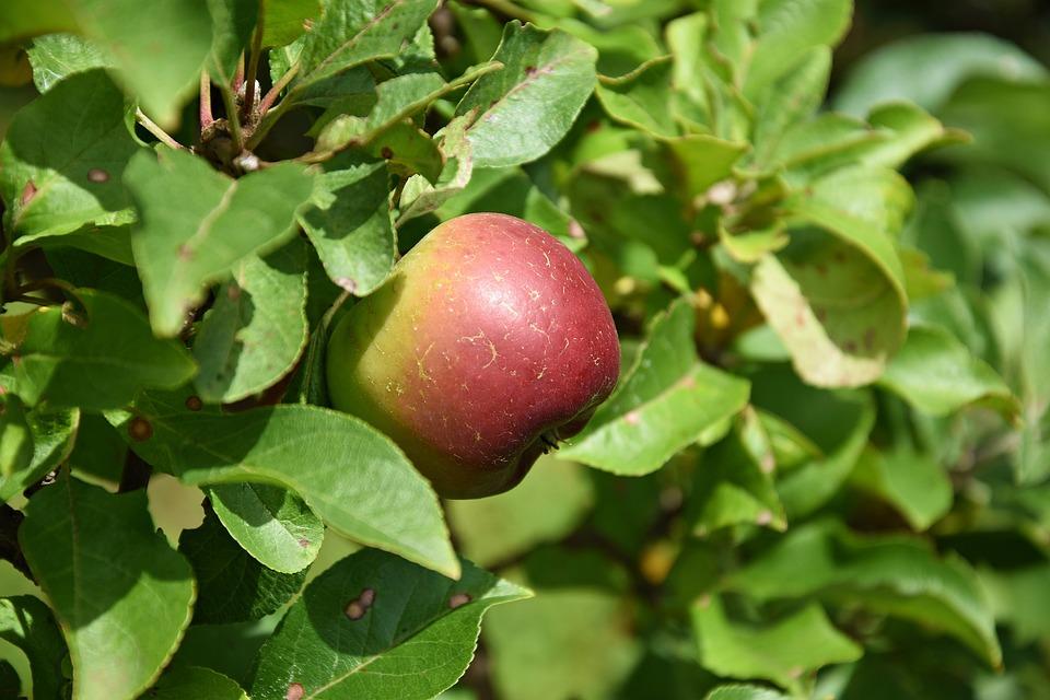 Apple, Tree, Apple Tree, Fruit, Nature, Ripe, Branch