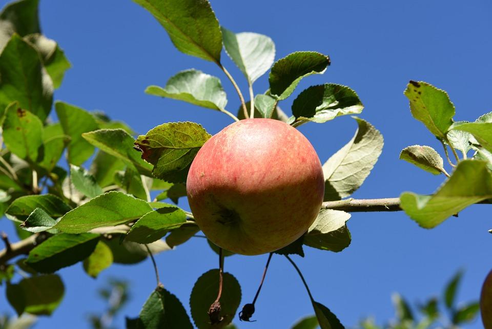 Apple, Blue, Sky, Apple Tree, Garden, Kernobstgewaechs