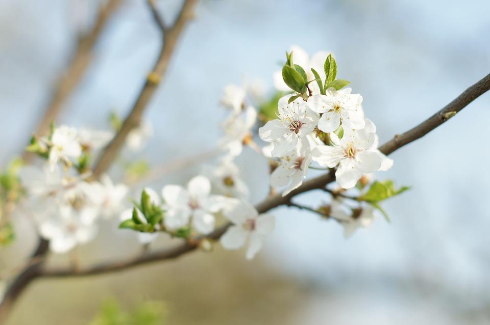 Flowers, Apple, Spring, Flower, Branch, Tree, White