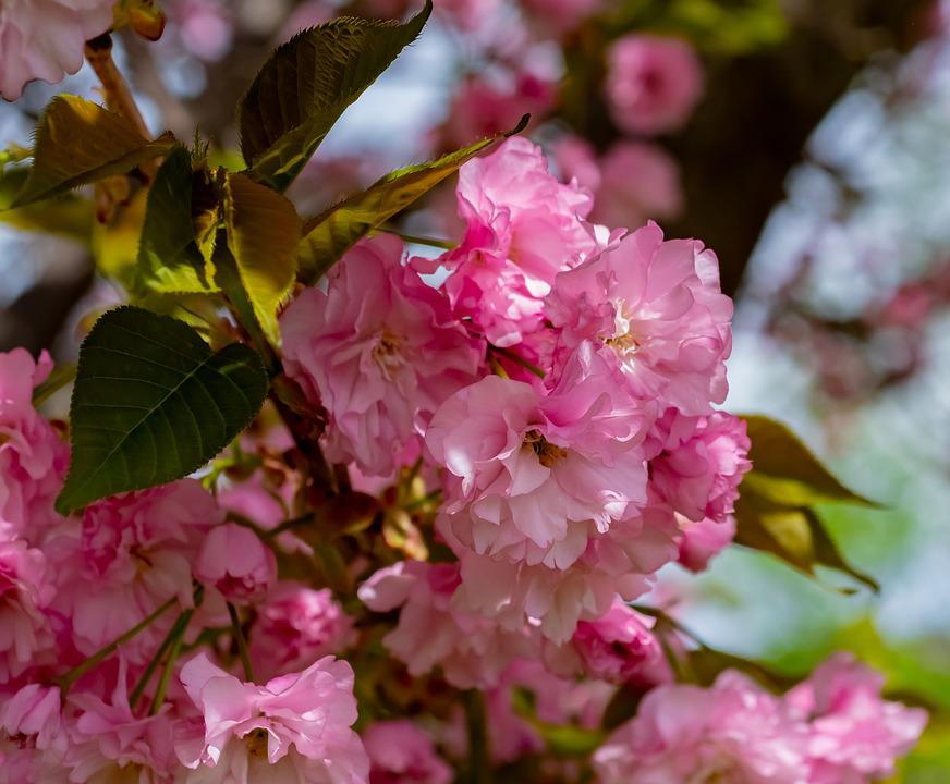 Flowering Crab, Tree, Spring, Blossom, Apple, Branch