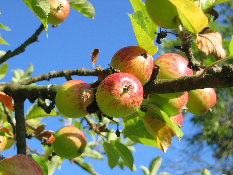 Apple Tree, Orchard, Apfelernte