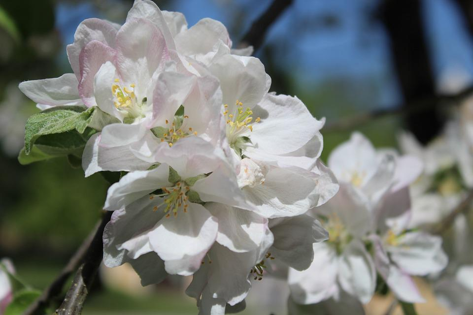 Apple Tree Blossom, Apple Tree, Apple Blossom, Blossom