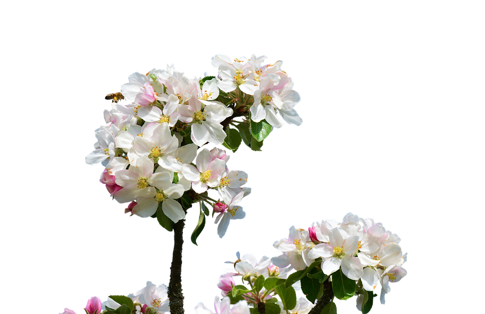 Apple Blossom, Isolated, Spring, Close Up, Apple Tree