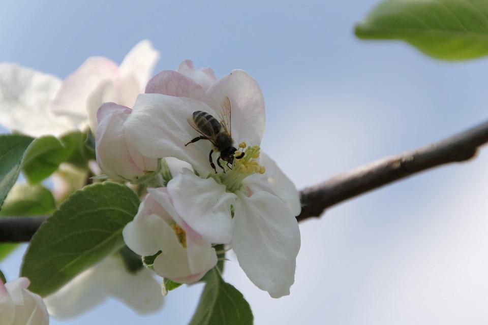 Apple Blossom, Bee, Spring, Apple Tree, Pollination