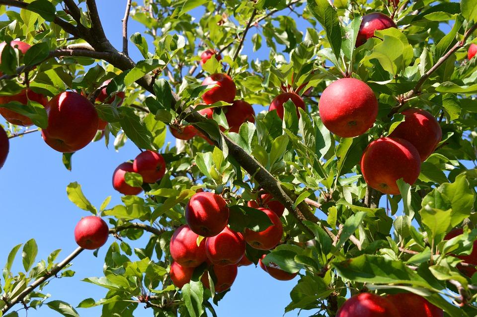 Apple Tree, Fruit, Apple, Healthy, Ripe, Branch, Red