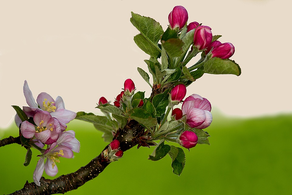 Apple Tree Branch Blossom