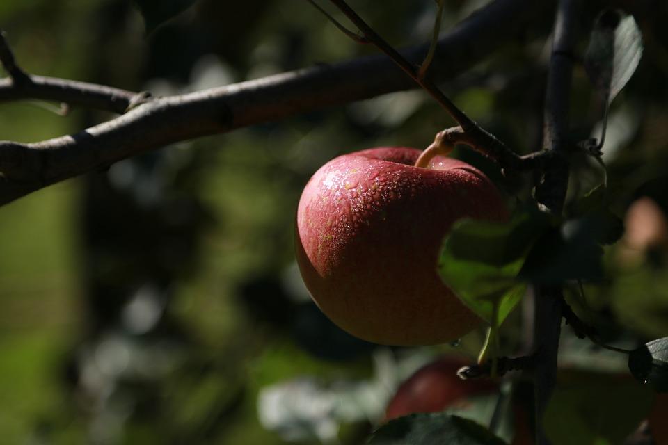 Apple, Apple Tree, Fruit, Orchard, Wood, Nature, Red