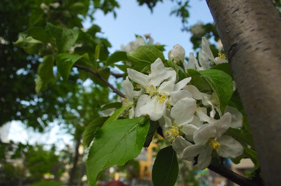 Apple Flower, Apple Tree, Spring, Flowers, Bloom