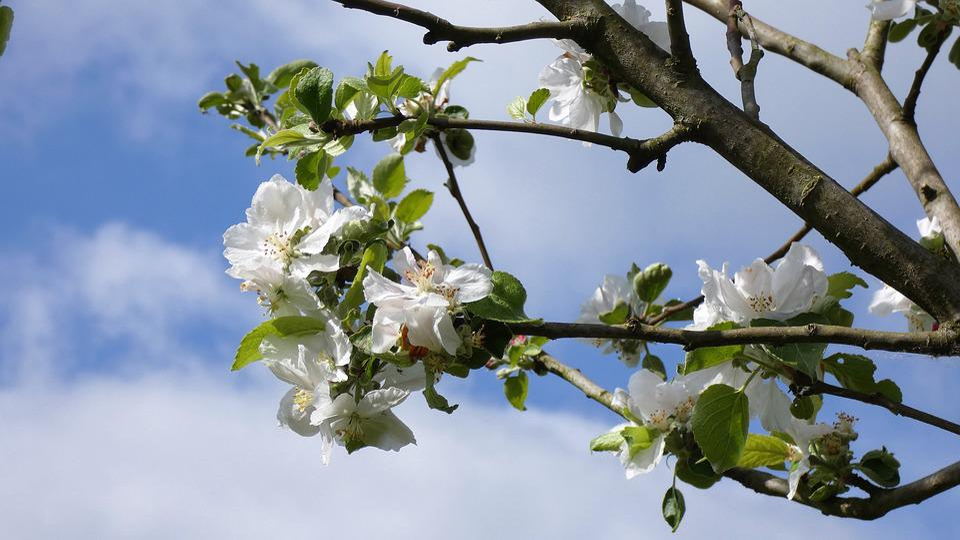 Blossom, Apple Tree, Nature