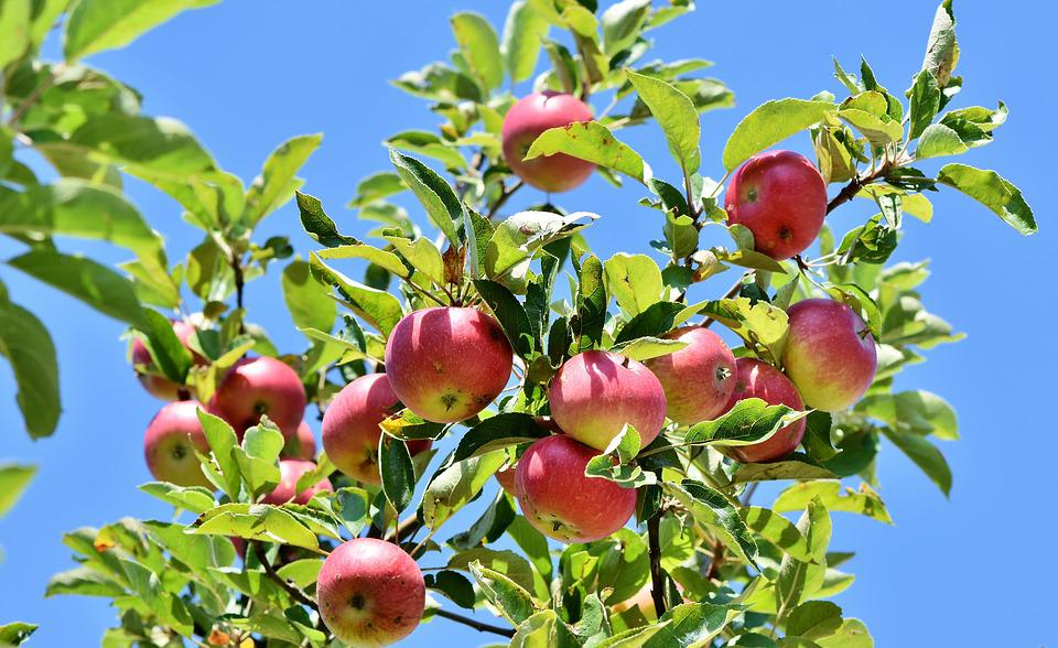 Apple, Apple Tree, Fruit, Apple Orchard, Branch