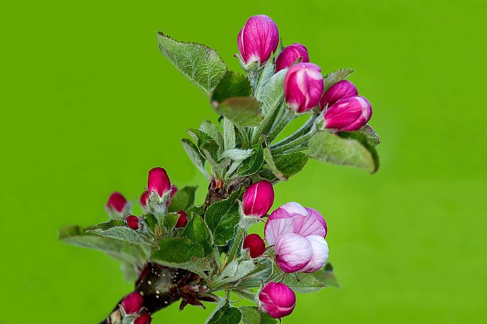 Apple Blossom, Apple Tree, Apple Tree Flowers, Blossom