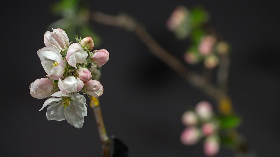 Apple Blossom, Flowers, Buds, Tree, Apple Tree