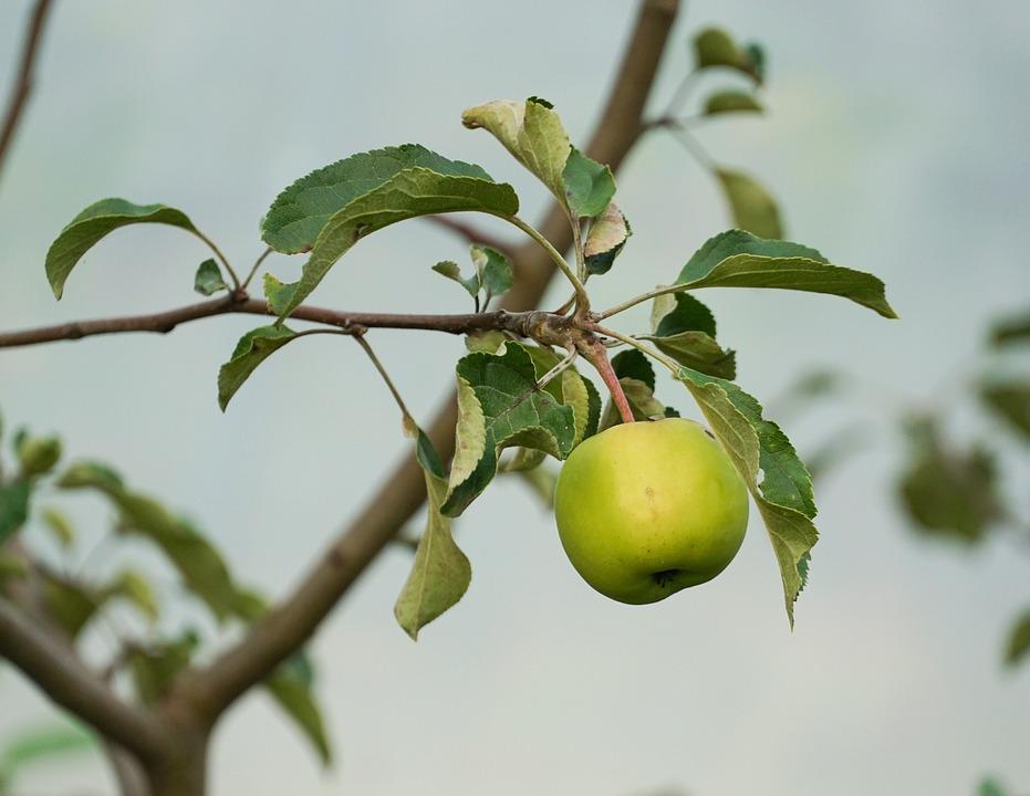 Food, Harvest, Leaves, Tree, Flora, Stem, Apple, Fruit