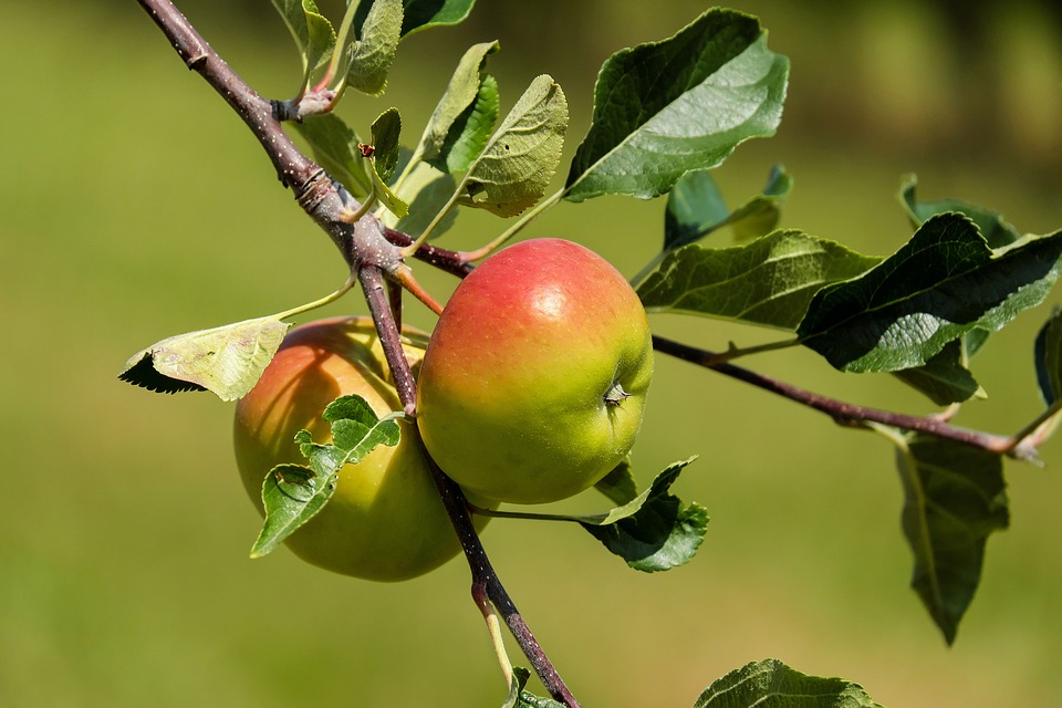 Apple, Fruit, Fruits, Red Green, Apple Tree, Nature